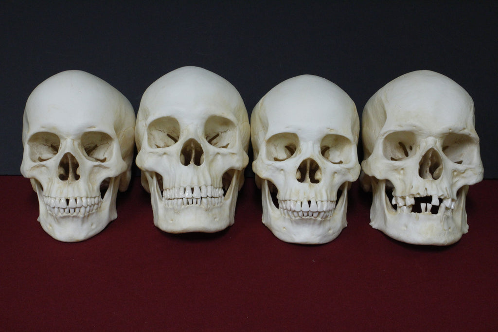 4 Assorted Museum Quality Cast Skulls