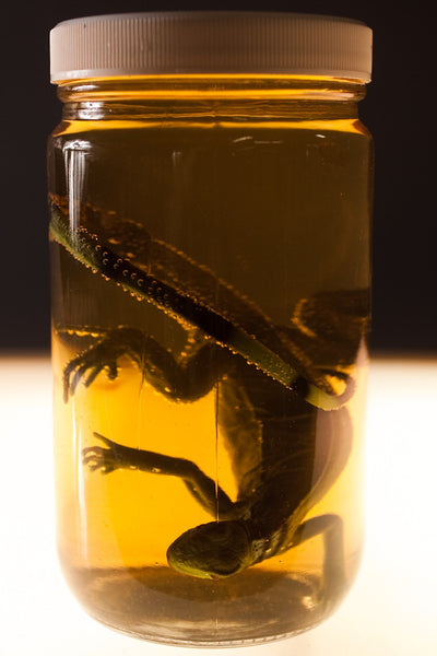 Small Iguana Replica Specimen Jar