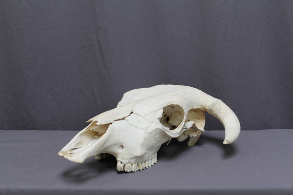 Steer Skull with Bone Horns