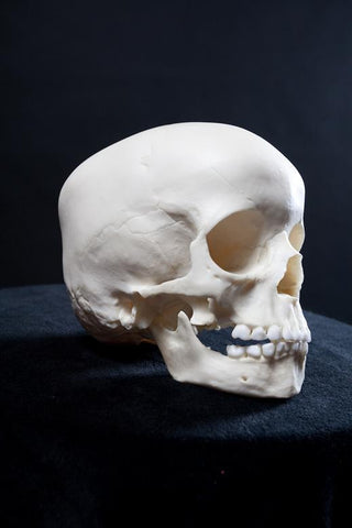 Cast Toddler Skull