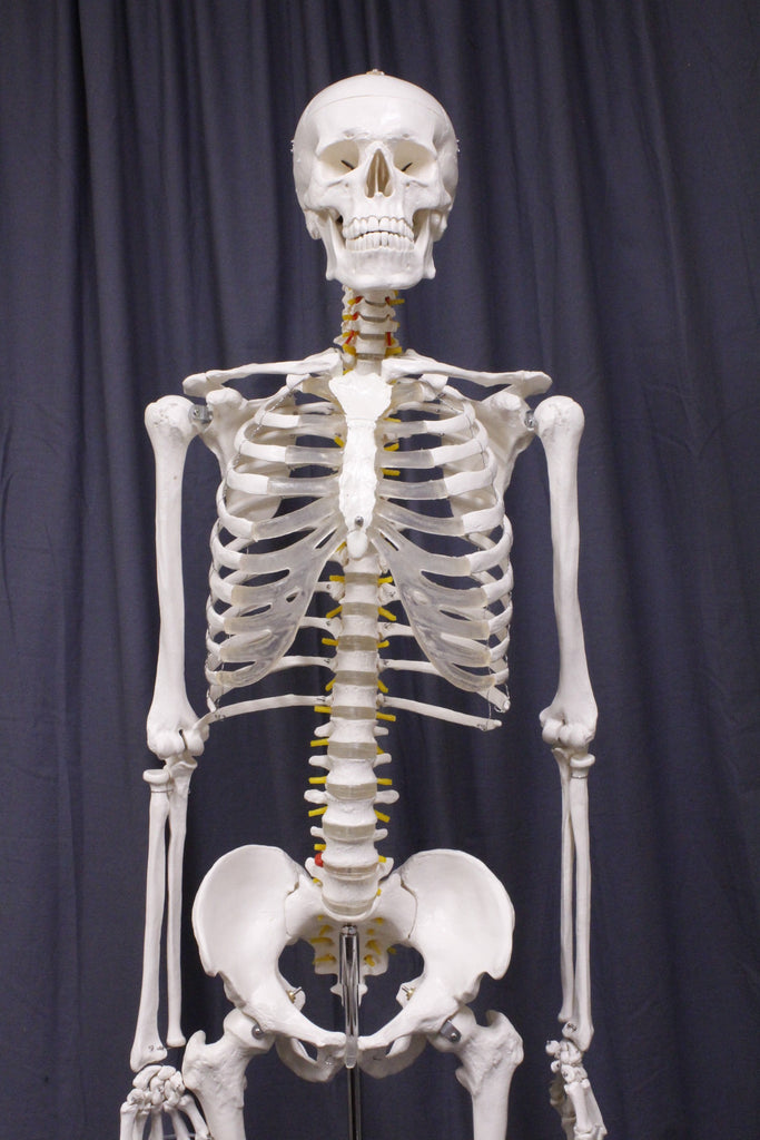 Life Size Human Skeleton With Stand Rental