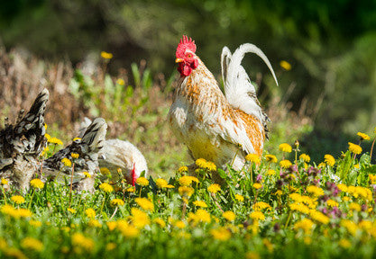Herbal wormer for chickens