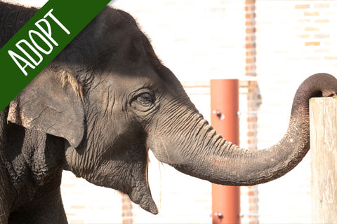 Adopt An Animal - Asian Elephant