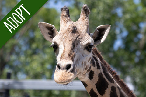 Adopt An Animal - Giraffe