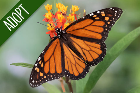 Adopt An Animal - Monarch Butterfly