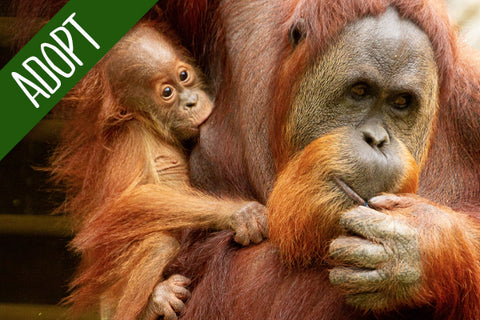 Adopt An Animal - Orangutan