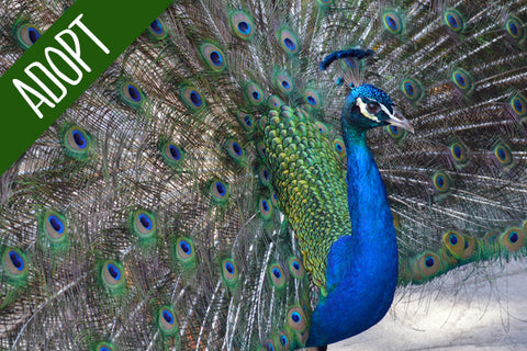 Adopt An Animal - Peacock