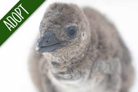 Adopt An Animal - African Penguin Chick