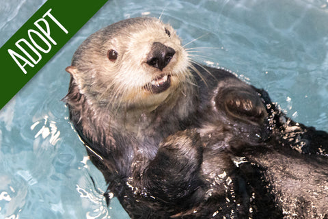 Adopt An Animal - Sea Otter