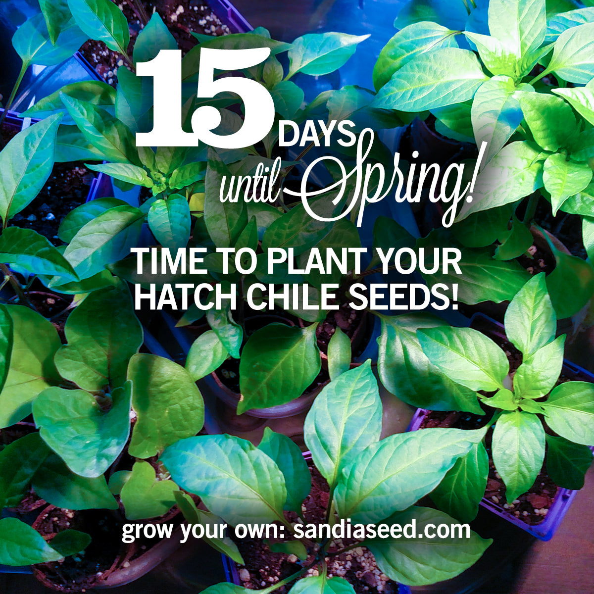 Time to Plant Hatch Chile Seeds