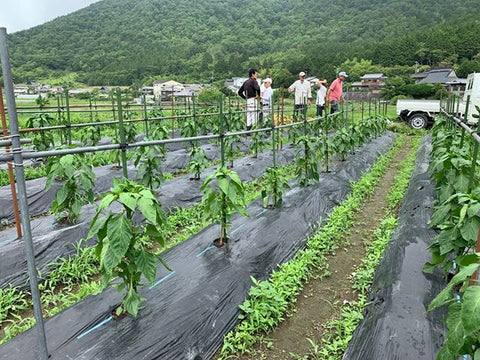 Growing Green Chile in Japan - big Jims