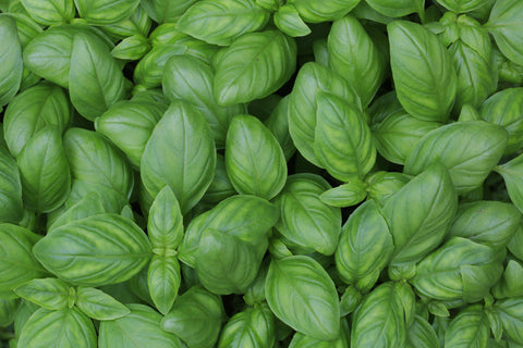 Companion Plants for Chile Peppers - BASIL