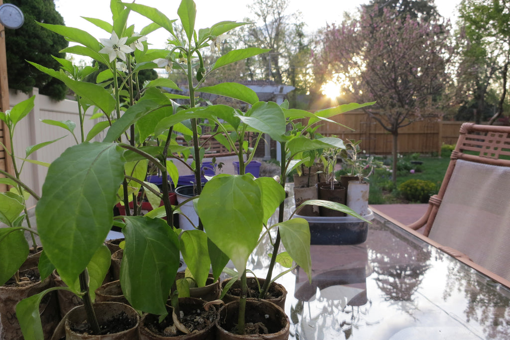 How to prune pepper plants for maximum yield