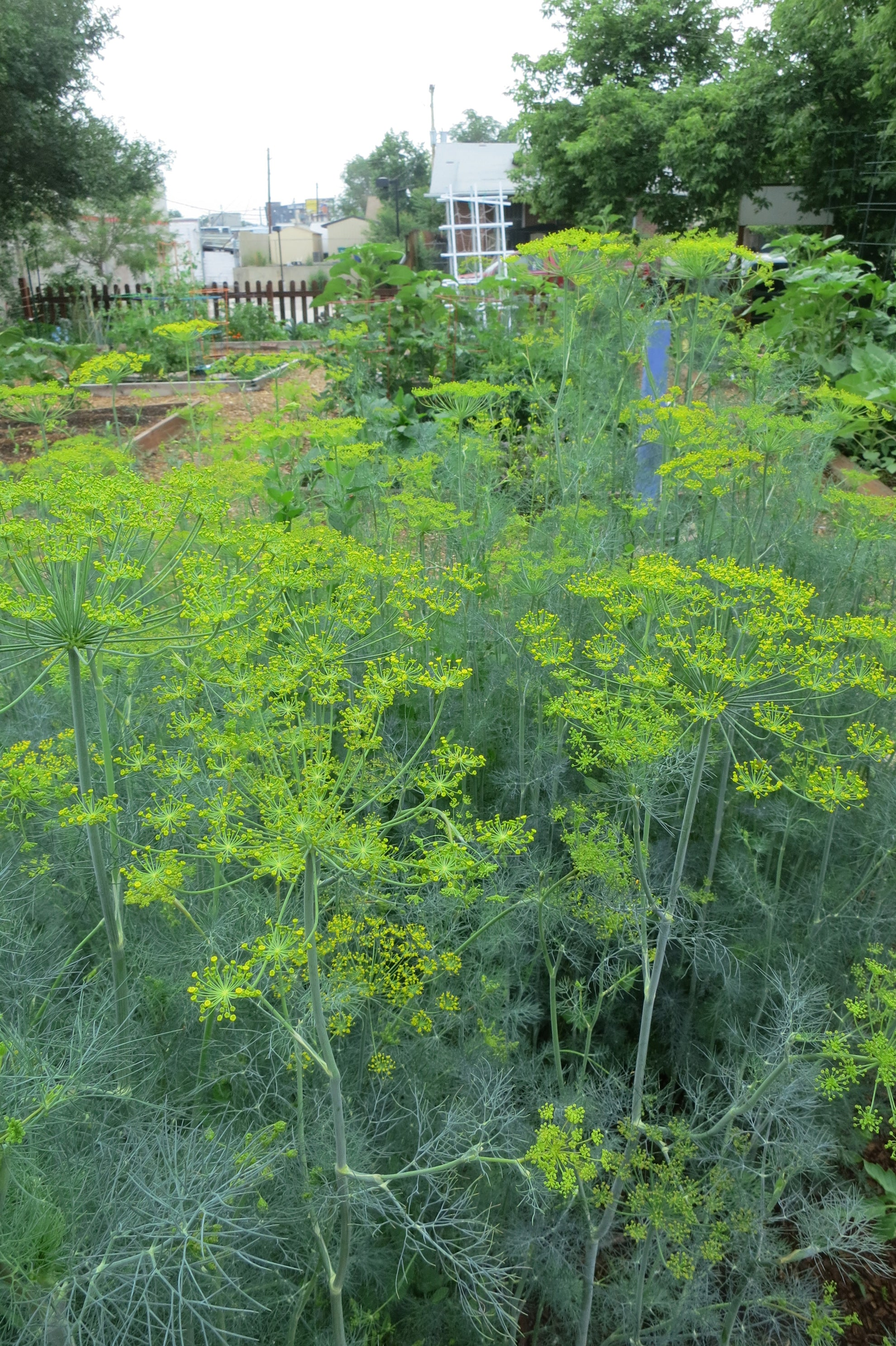 Dill Patch near Tomatoes for natural Hornworm Control - Trap Crop