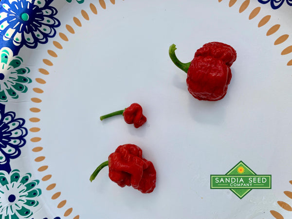 Dragon's Breath Pepper Seeds - pods grown from seeds