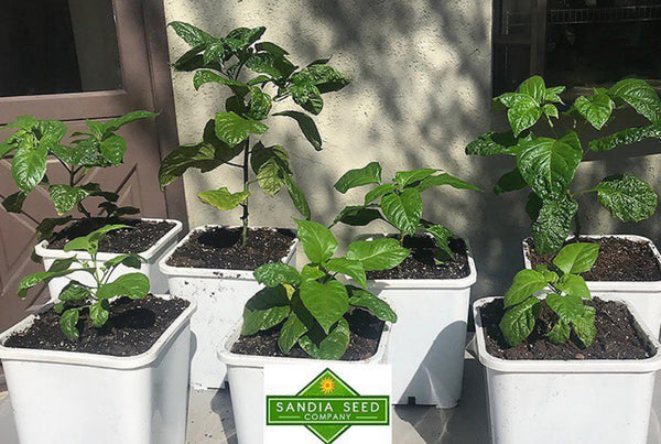 Dragons Breath Pepper Plants grown from Seeds from Sandia Seed