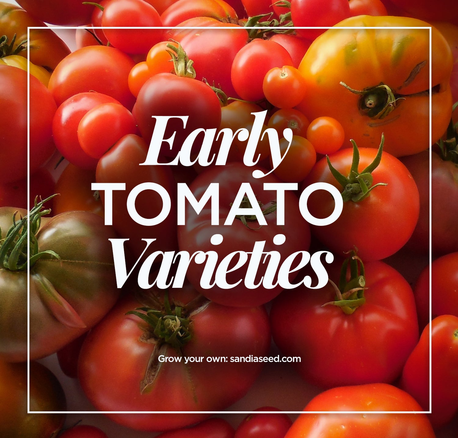 Early Tomato Varieties from SandiaSeed.com
