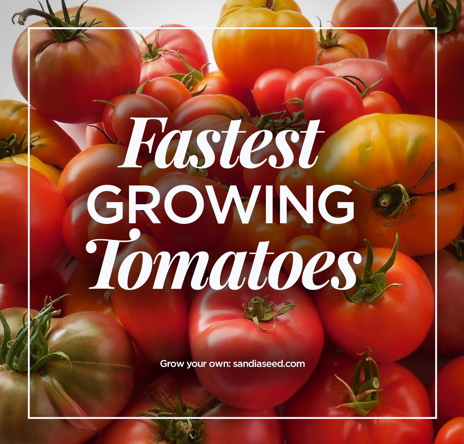 Fastest Growing Tomatoes