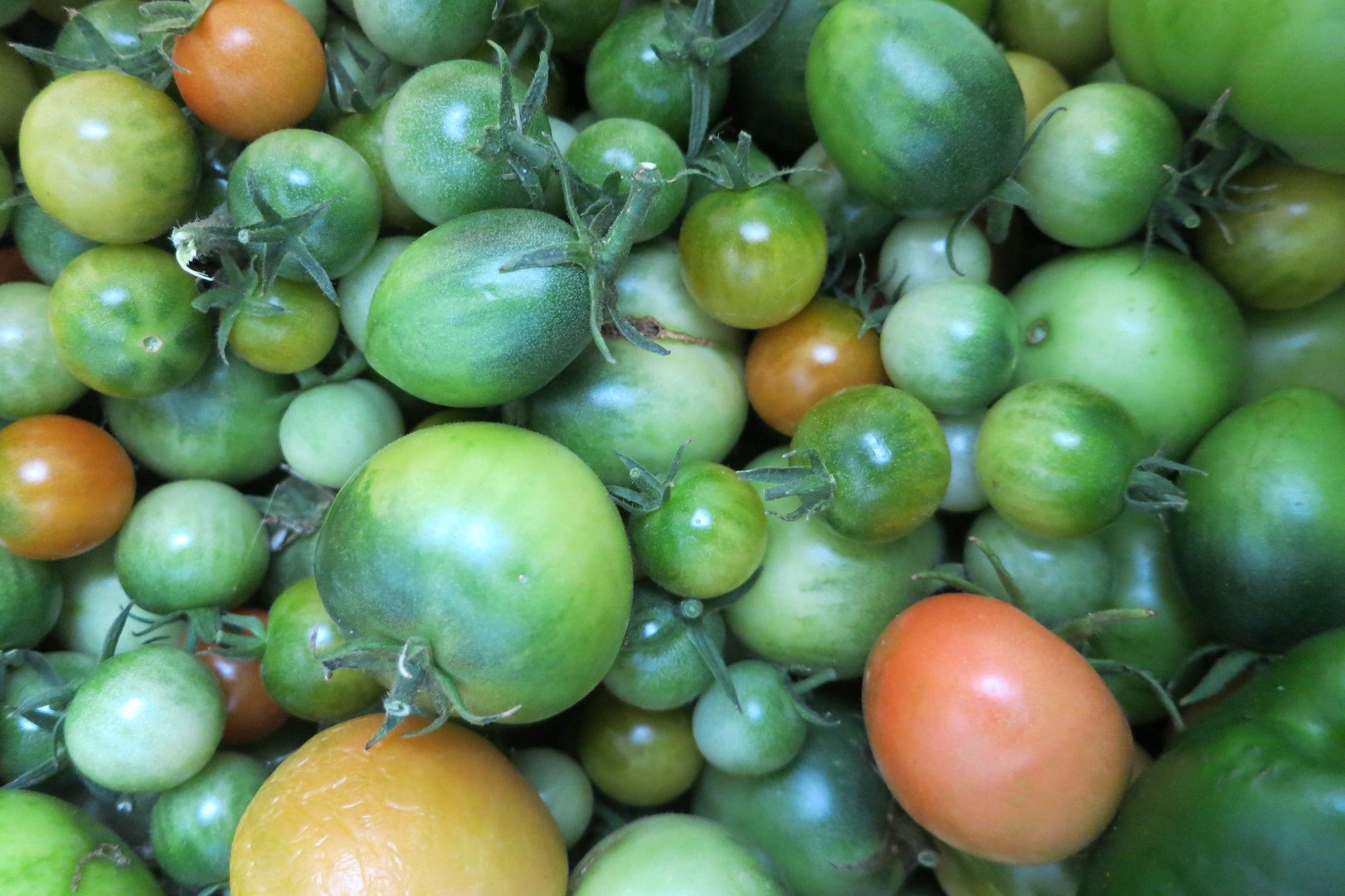 Early Tomato Varieties from SandiaSeed.com - avoid a ton of green tomatoes in the fall!