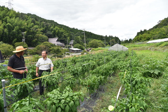 Growing New Mexican Chiles in Japan from Seed