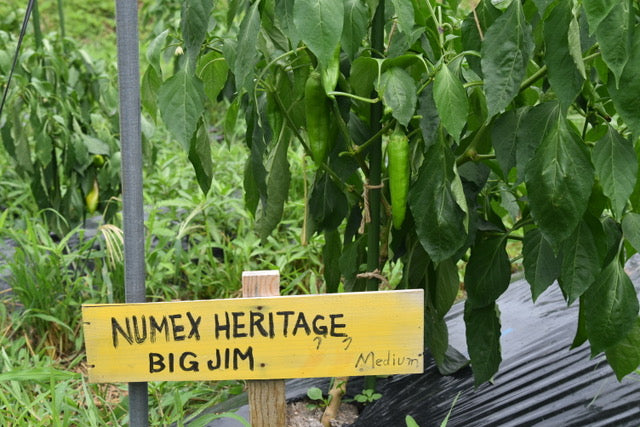 Big Jim Green Chillis grown from seed in Japan