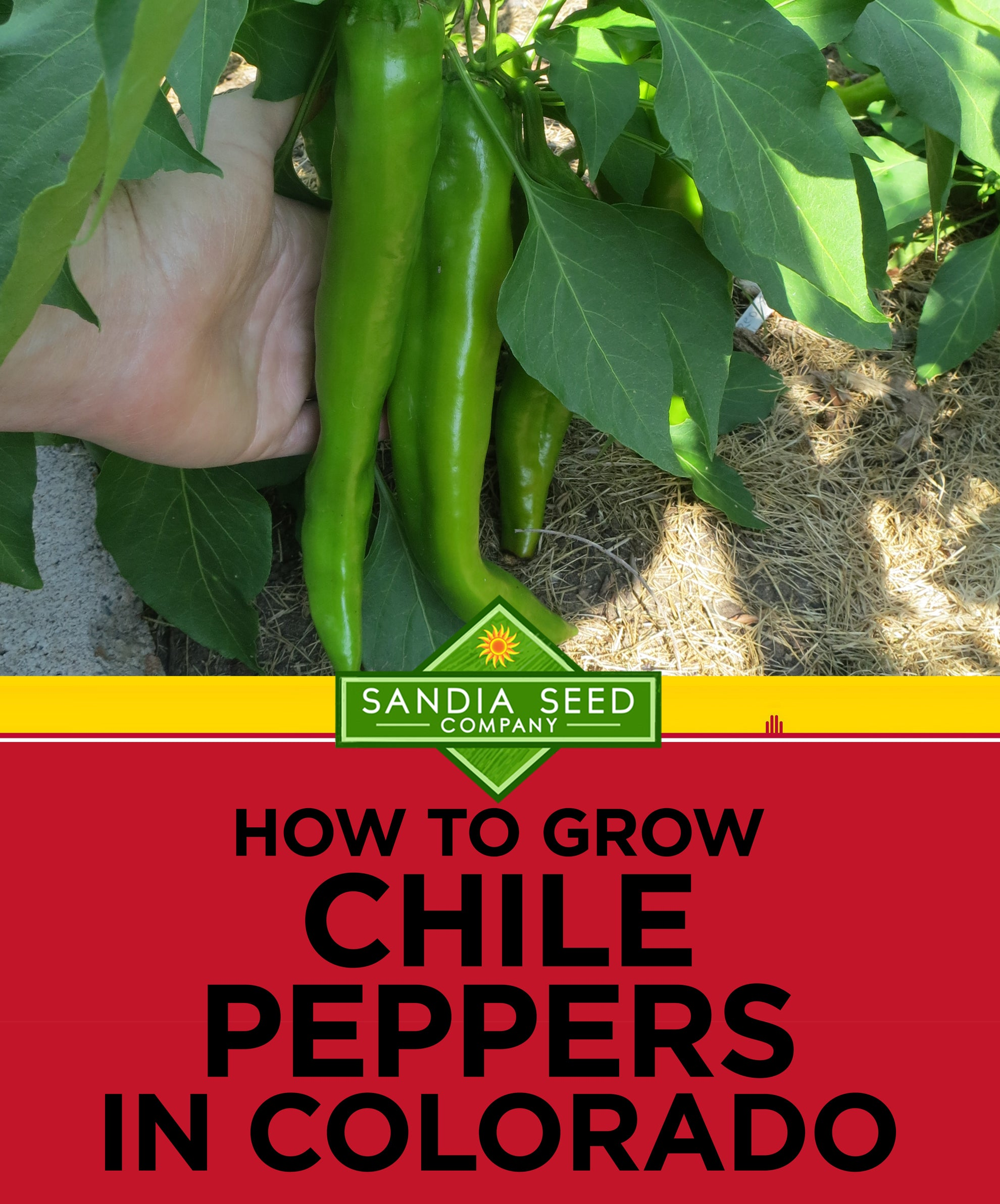 How to grow Chile Peppers in Colorado