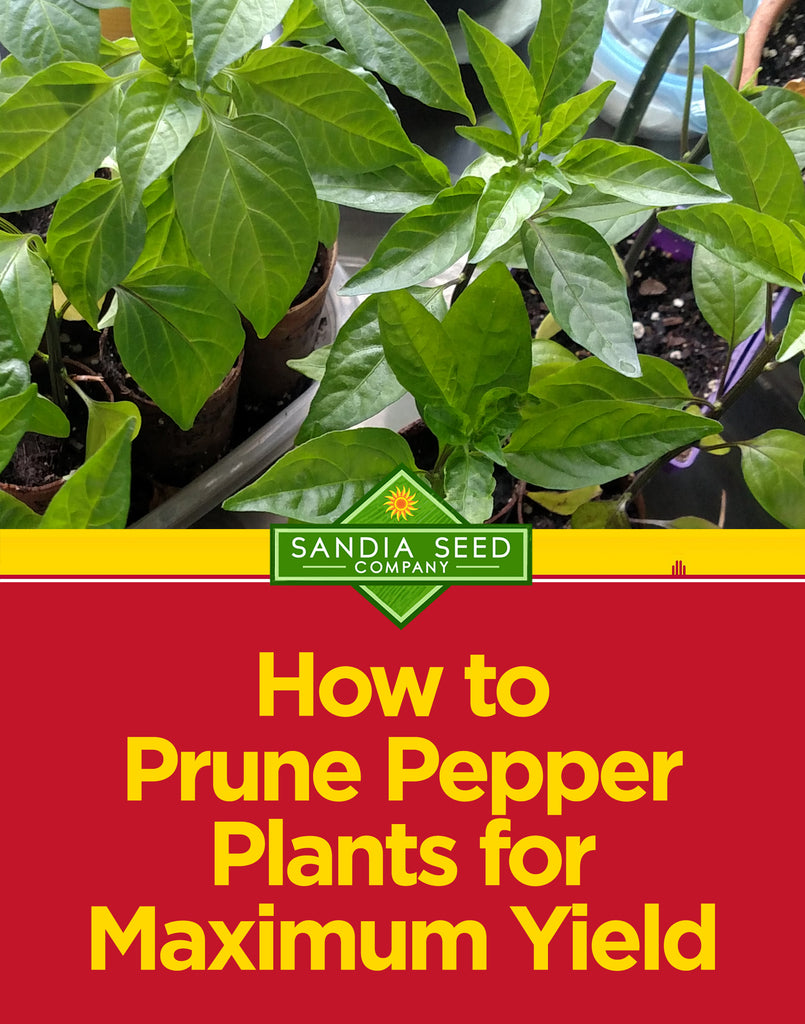 How to Prune Pepper Plants for Maximum Yield - tips from Sandia Seed