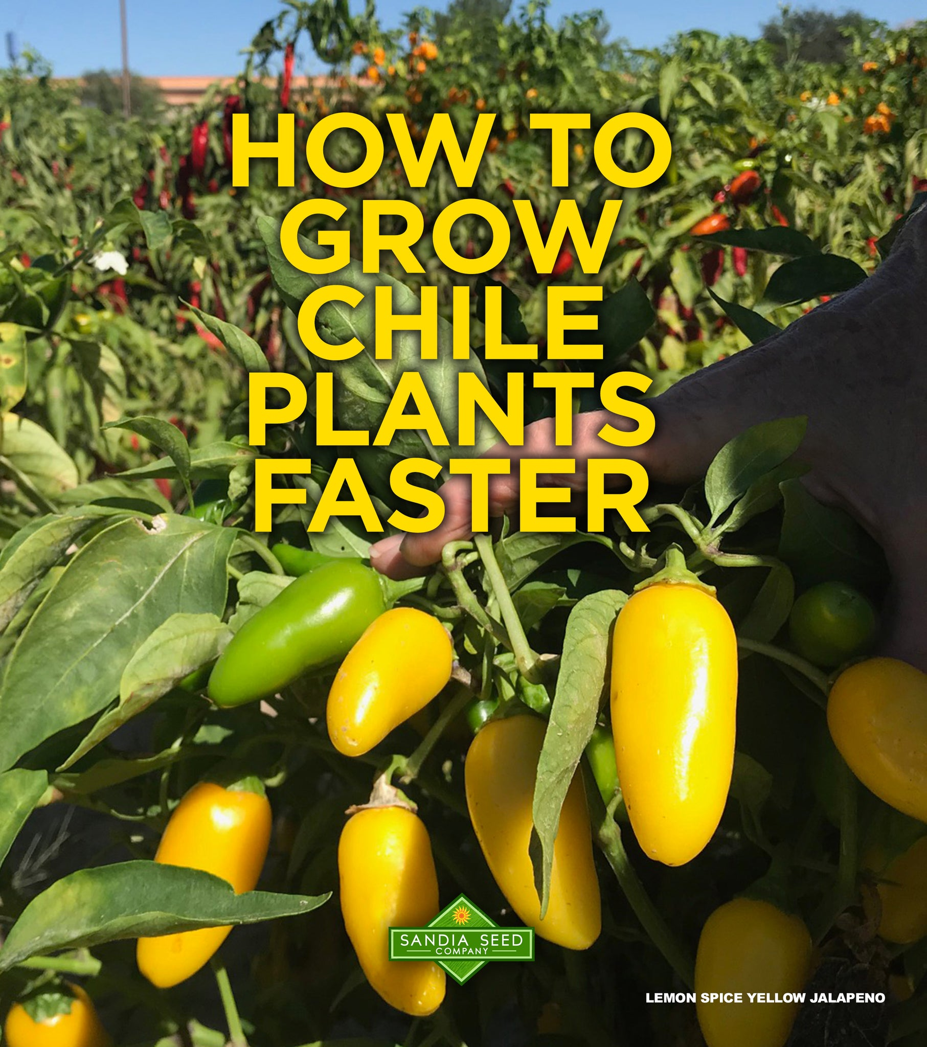 How to Grow Chile Plants Faster