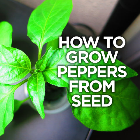 Hot Pepper Seeds - how to grow