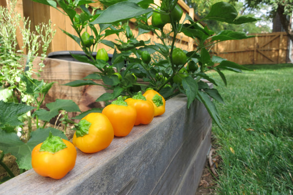 Ornamental Peppers - Orange Mini Bell Peppers are super cute!