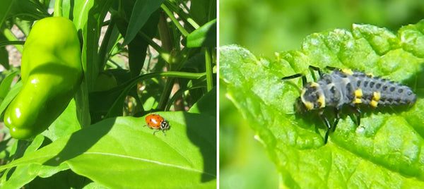 Attract ladybugs to your pepper garden