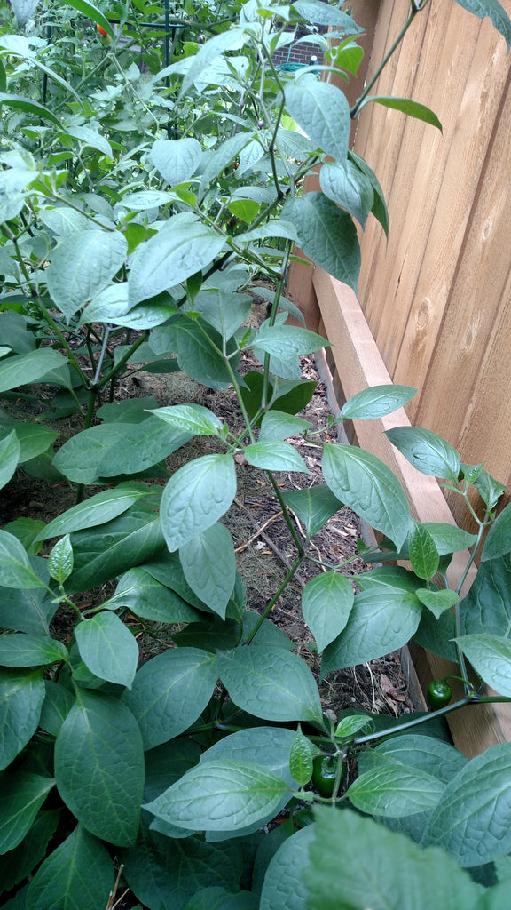 Manzano Pepper Plants are Vine-like and tolerate partial shade