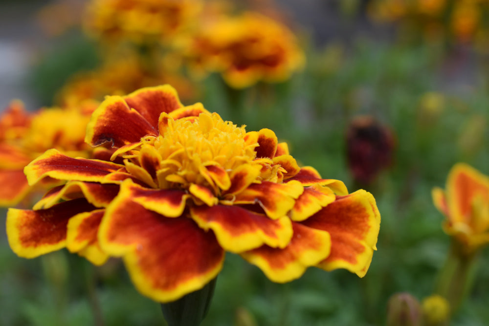 What to Plant with Tomatoes to Keep Bugs Away - Marigolds help Tomato Plants