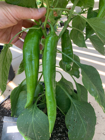 How deep do Hatch chile roots grow?