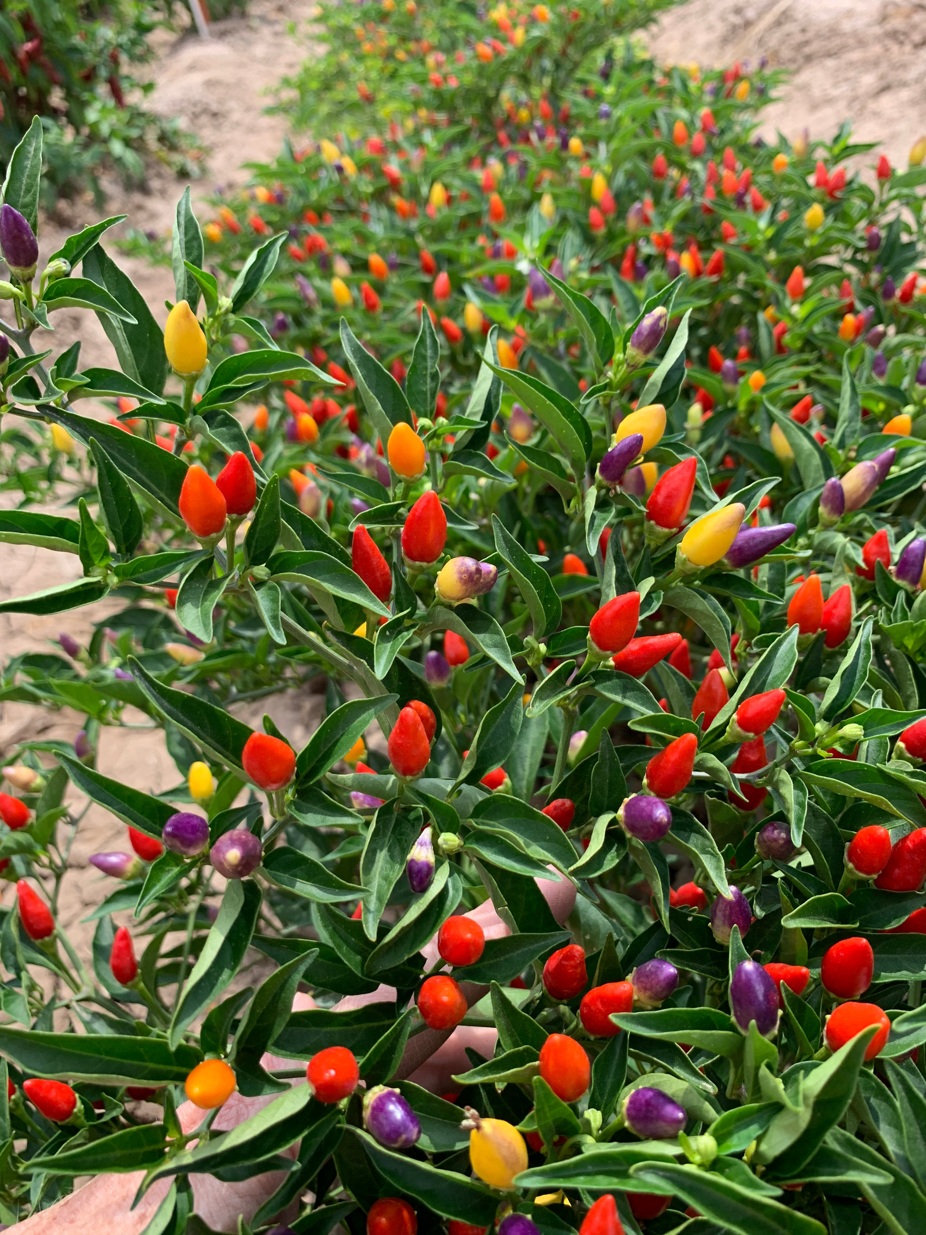 3 Peppers You Should Grow - NuMex Twilight Ornamental Pepper Seeds