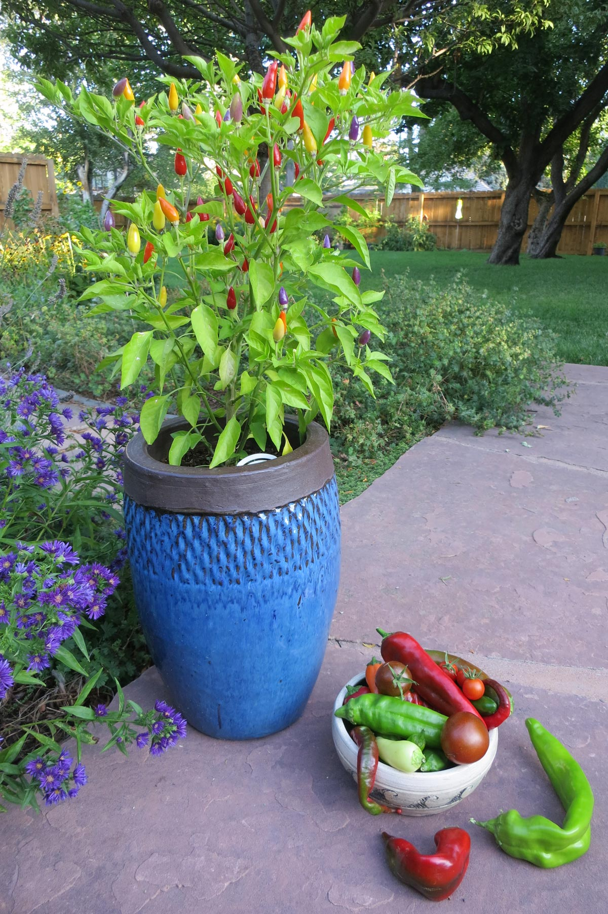 Can you put pepper plants together in one big pot?
