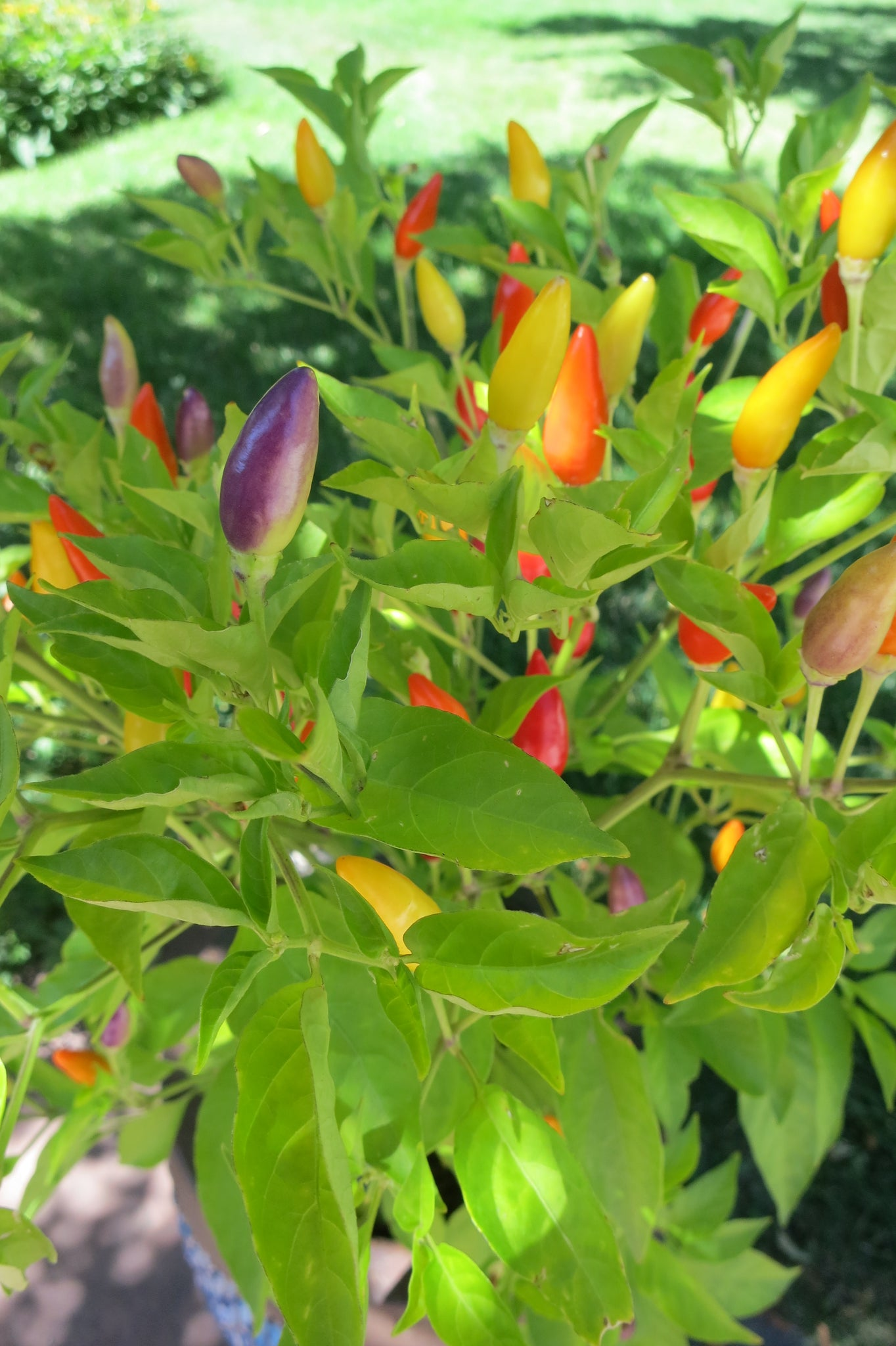 Purple Peppers Seeds - Numex Twilight Peppers start out purple then changes to a rainbow of colors!