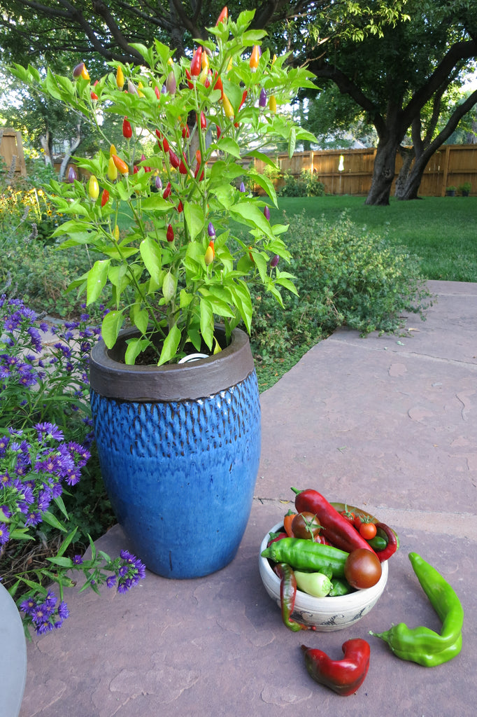 Best Peppers for Containers - Grow NuMex Twilight Hot Peppers in pots! They're gorgeous.