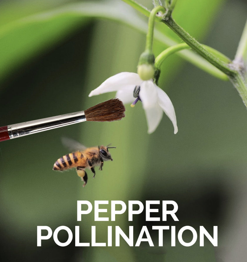 Hand Pollinate Peppers - pepper seeds