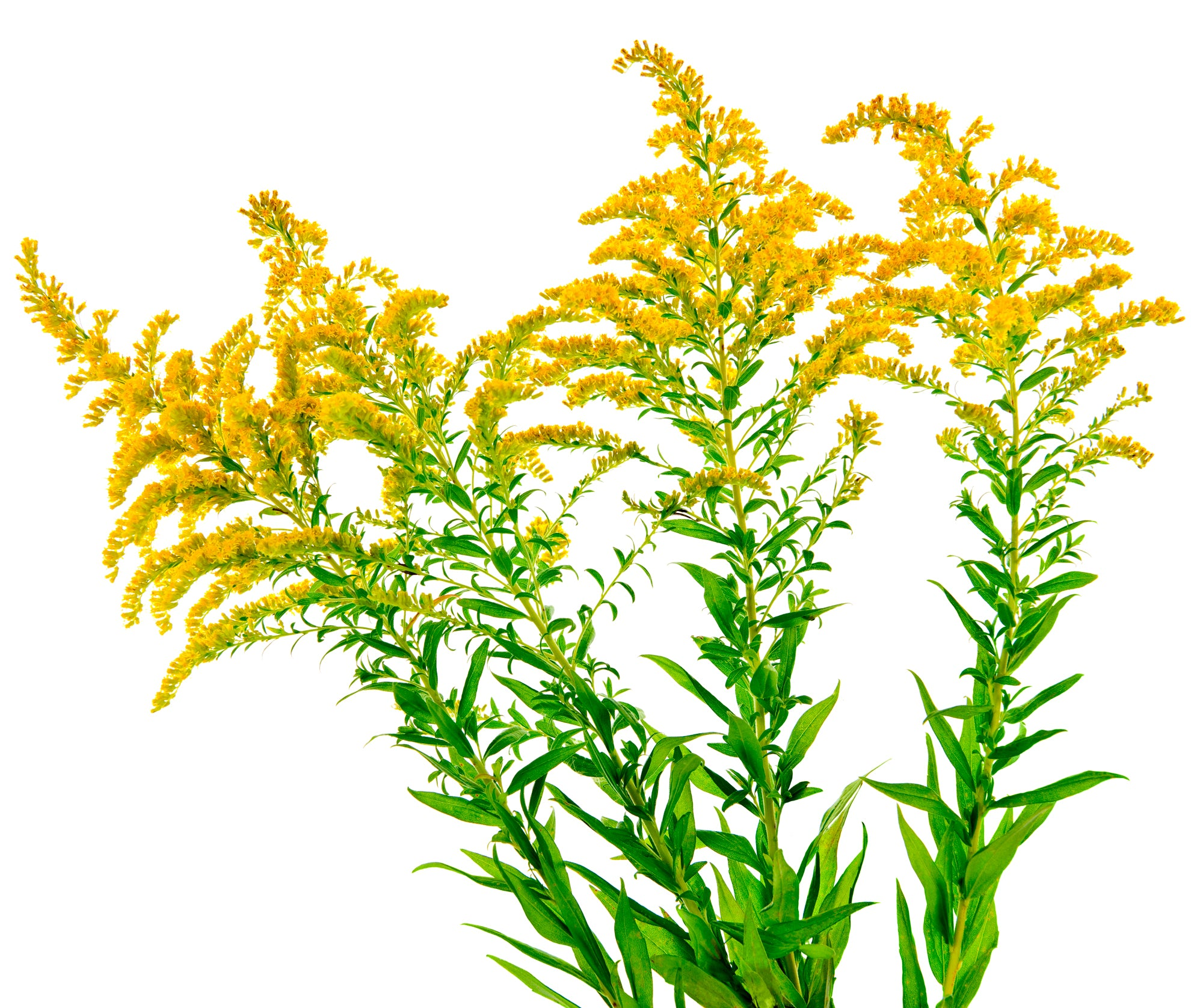Plants that Attract Beneficial Insects: Goldenrod