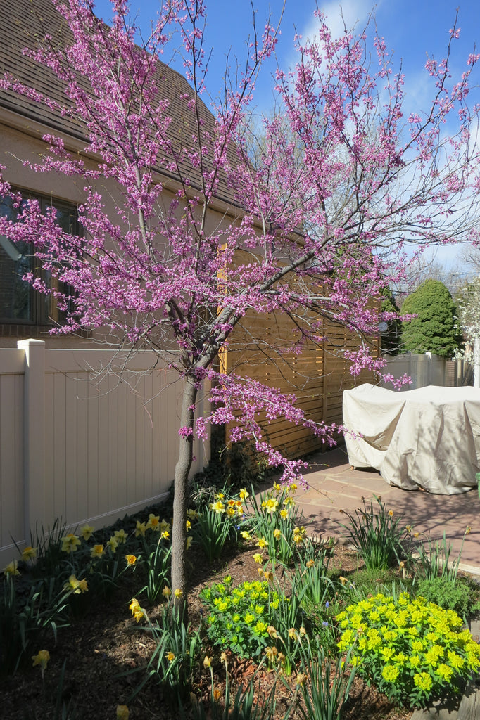 Companion Plants for Peppers - Spring Flowering Trees like Red Bud