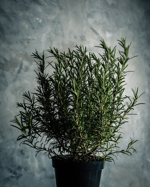 Companion Plants for Pepper Plants - Rosemary