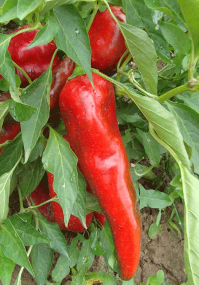 Paprika Pepper (perfect for an Aleppo Pepper Substitute)