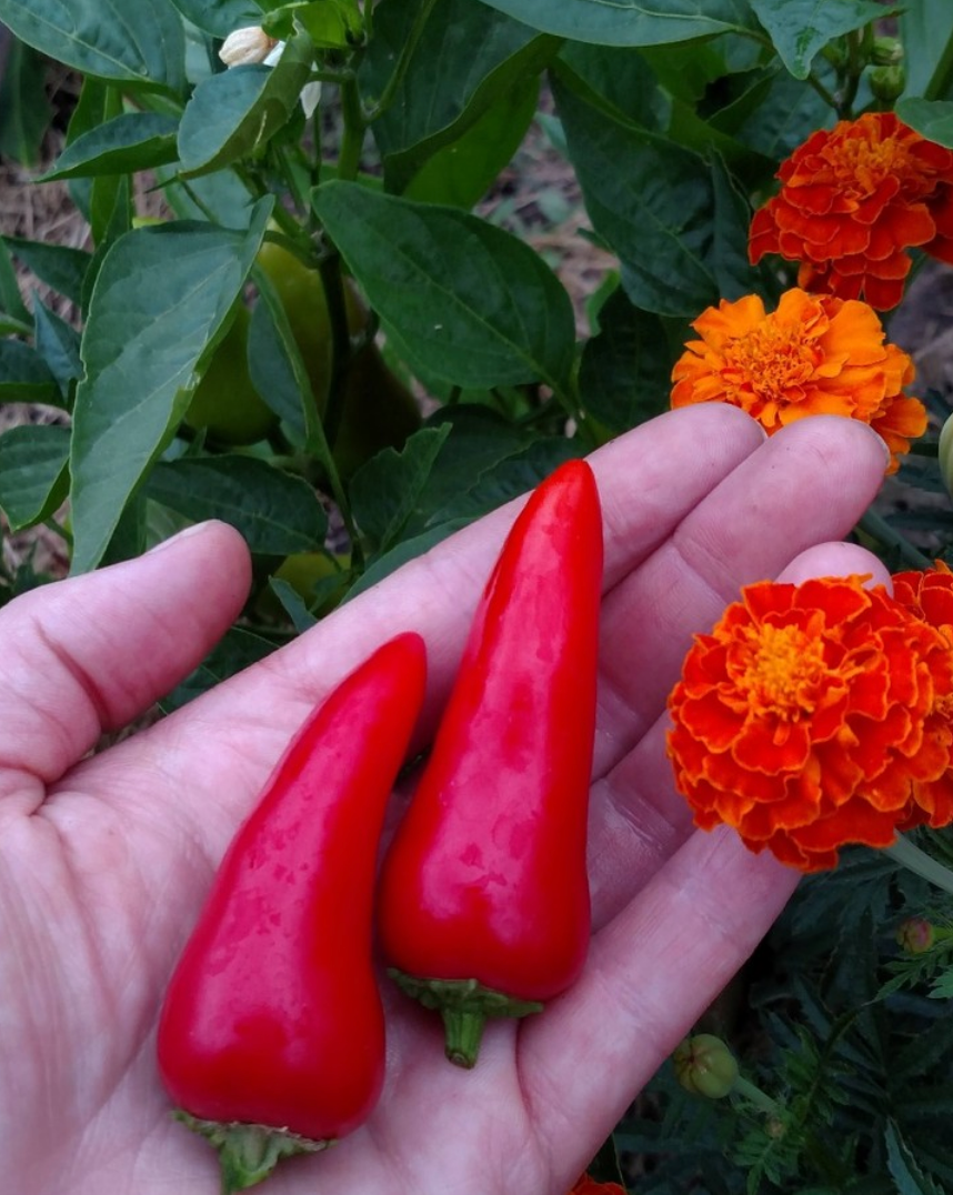 Hot Pepper Companion Plants: Marigolds for Peppers