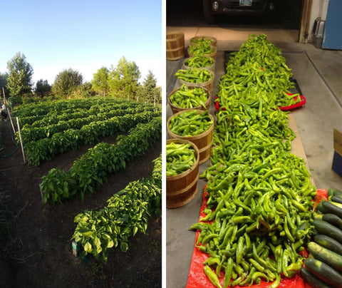 Wyoming-grown Hatch Chiles from seeds