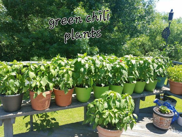 Seed Reviews – Sandia Seed Company here is a picture of your green chile seeds growing in Minnesota!!