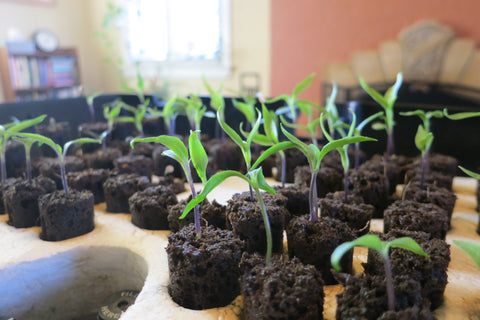 When to germinate Super Hot Peppers in Colorado