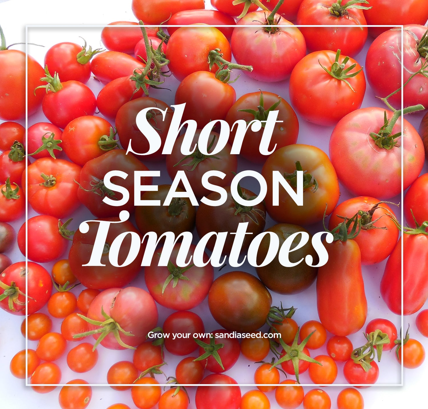 Short Season Tomatoes