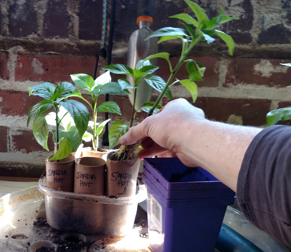 How to grow peppers from seed