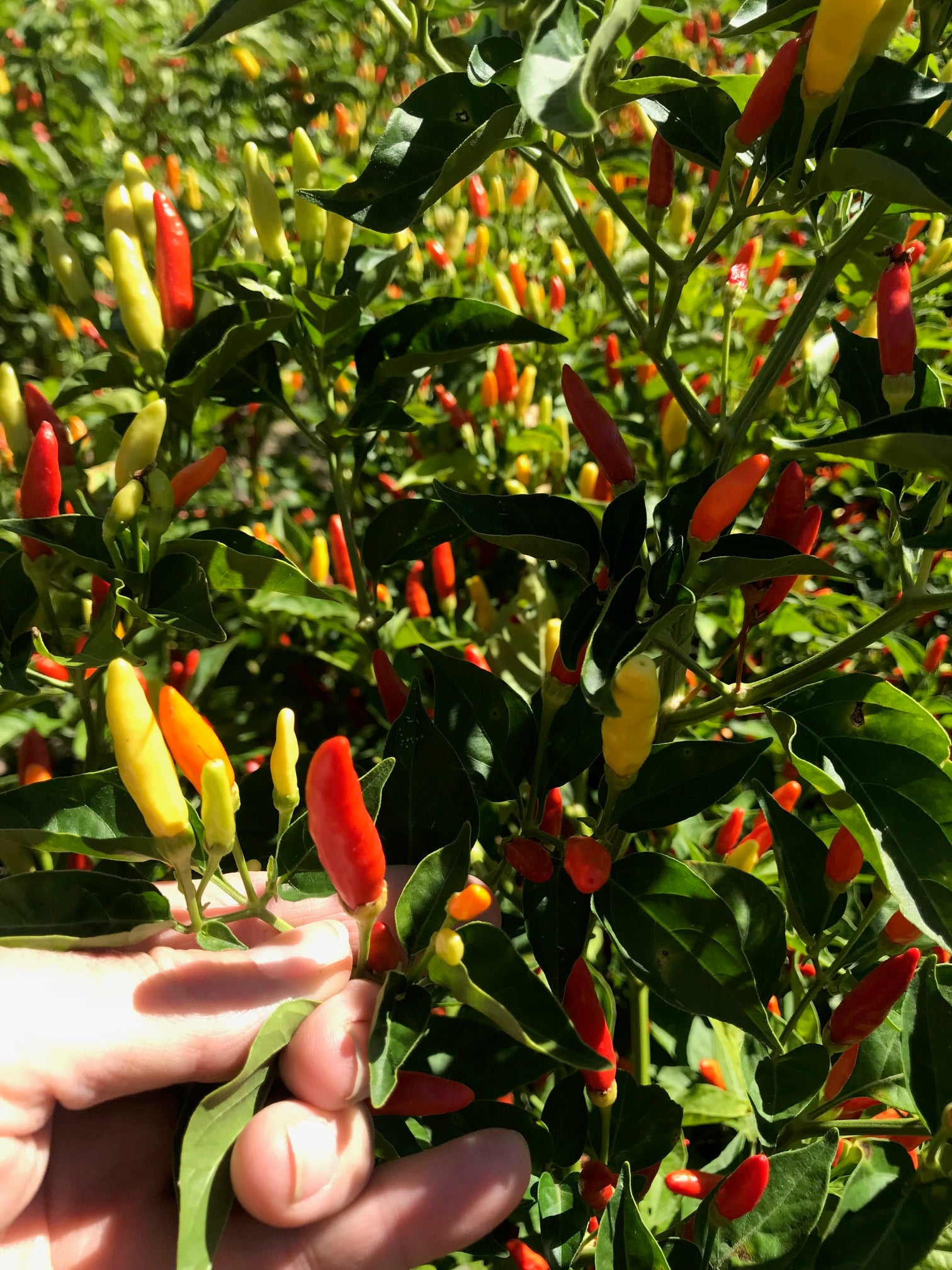 Rainbow Peppers - Tabasco Peppers are surprisingly beautiful!
